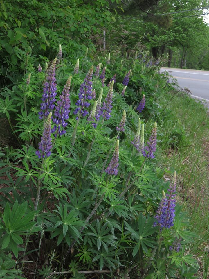Lupines 2018